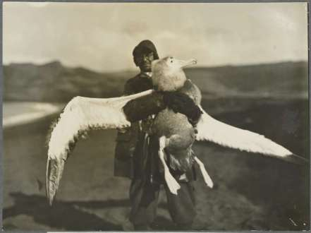 3b - Dr Ingram holding a young albatross captured at Crozet Ilsand, ca 1930 Frank Hurley, 1885-1962 nla.obj-141179428-1